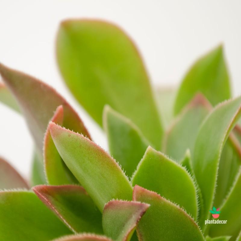 Aeonium Kiwi Verde