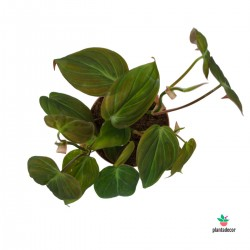 Philodendron Scandens...