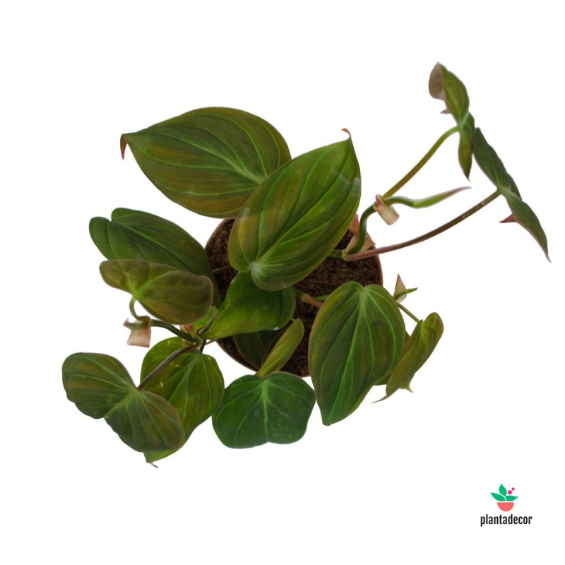 Philodendron Scandens Micans M-10,5
