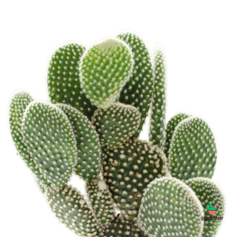 Opuntia Microdasys Albispina