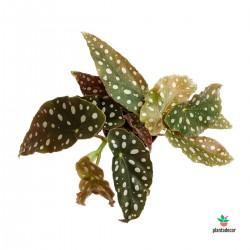 """Begonia Maculata """"Mini"""""""