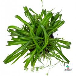 "Chlorophytum Comosum ""Green..."