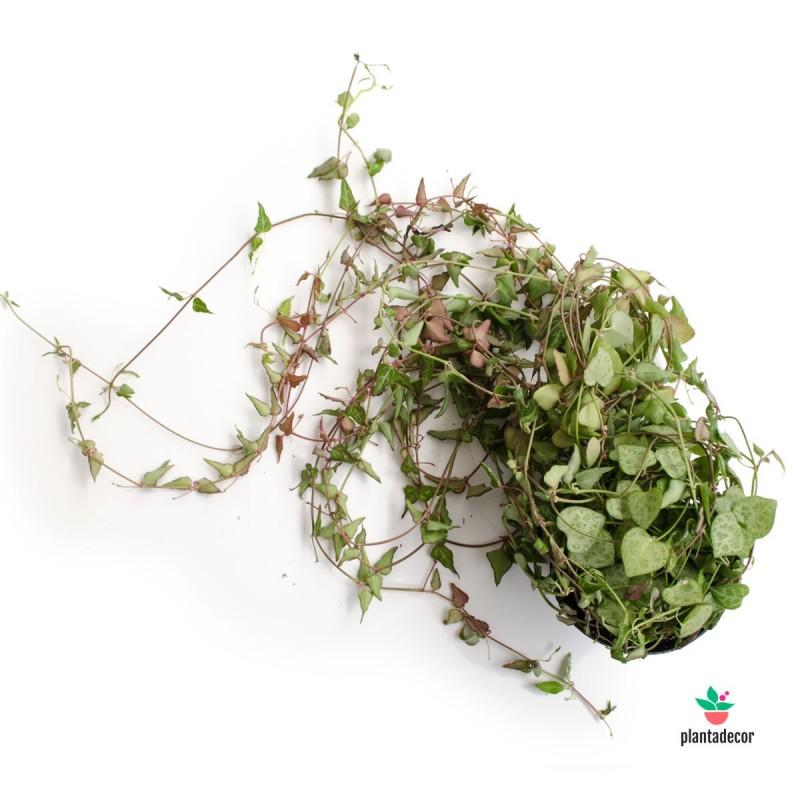 "Ceropegia Woodii ssp Woodi ""String or Spades"""