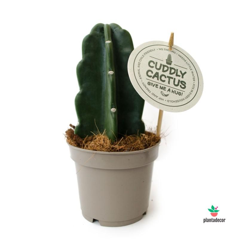 """Cereus Jamacaru """"Hybrid"""" - Cuddly Cactus"""