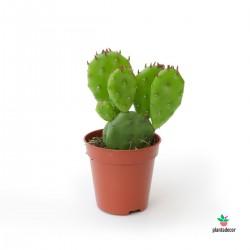 Opuntia Humifusa mini