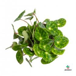 Begonia BD Kingiana