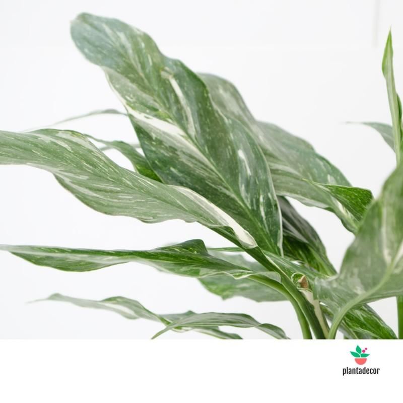 Spathiphyllum 'Diamond Variegata'