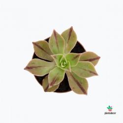 Aeonium Stripe Mini