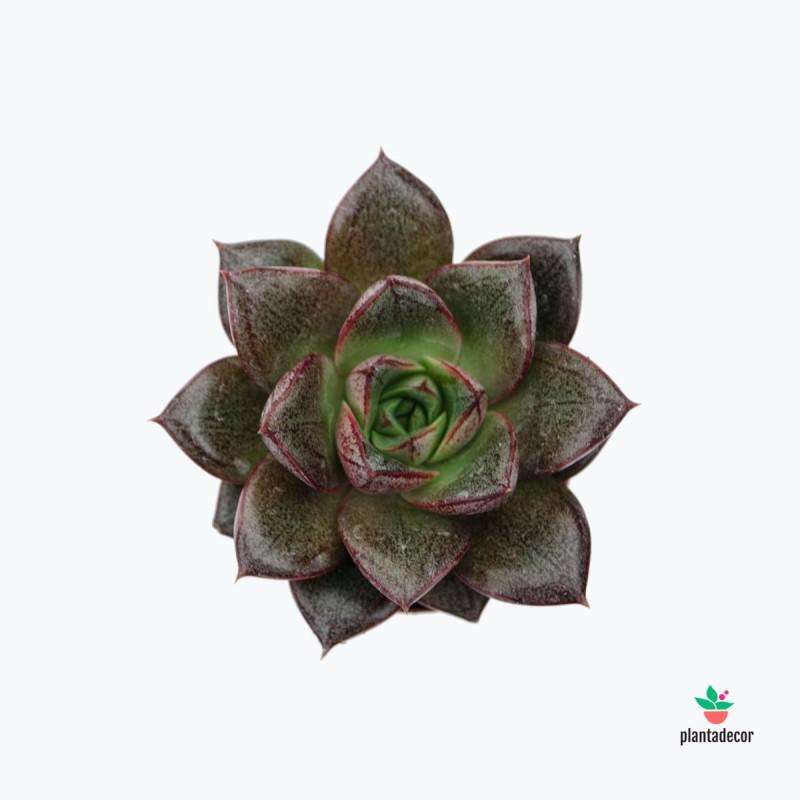 Echeveria Purpusorum mini