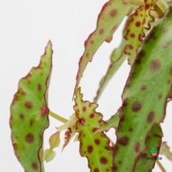 """Begonia Amphioxus """"Mini"""""""