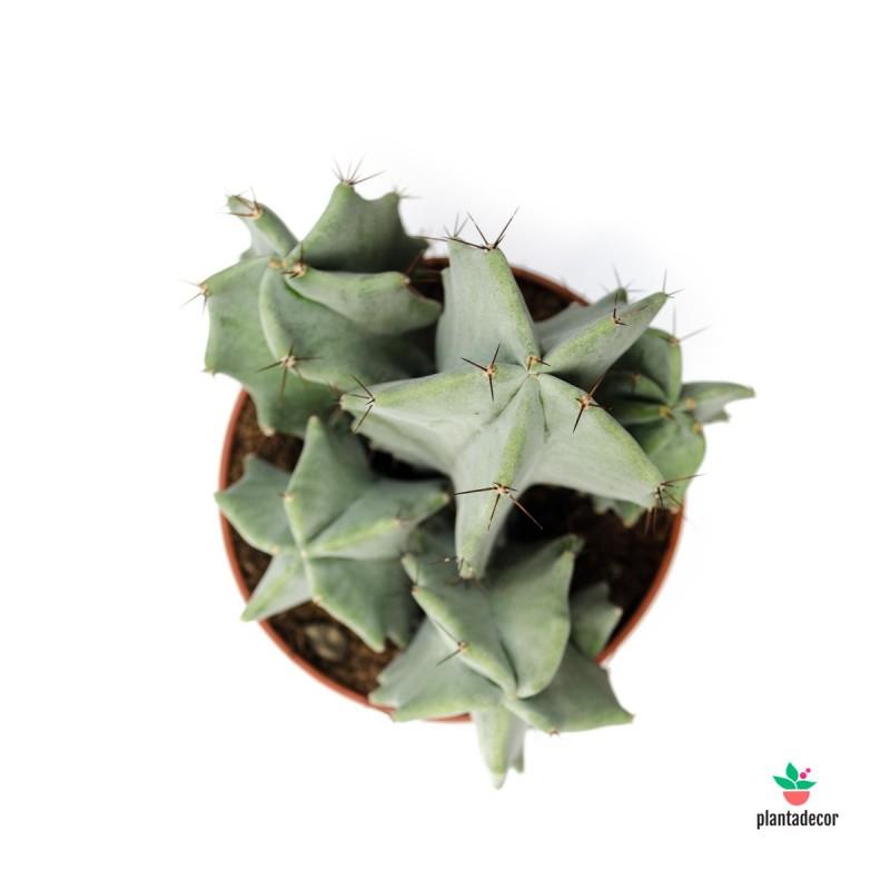 Ritterocereus Pruinosus