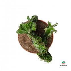 Euphorbia Triangularis Cristata