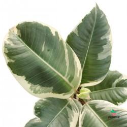 Ficus Elastica Tineke pequeño