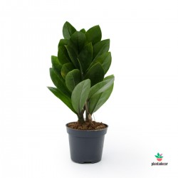 Zamioculcas Zamiifolia mini