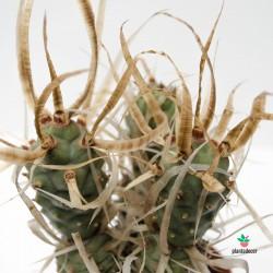 Tephrocactus Articulatus...