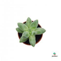 """Pachyphytum Compactum """"Mini"""""""