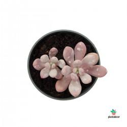 "Pachyphytum Oviferum ""Pink"""