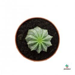 Euphorbia cv. William Denton