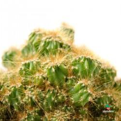 Cereus Peruvianus...