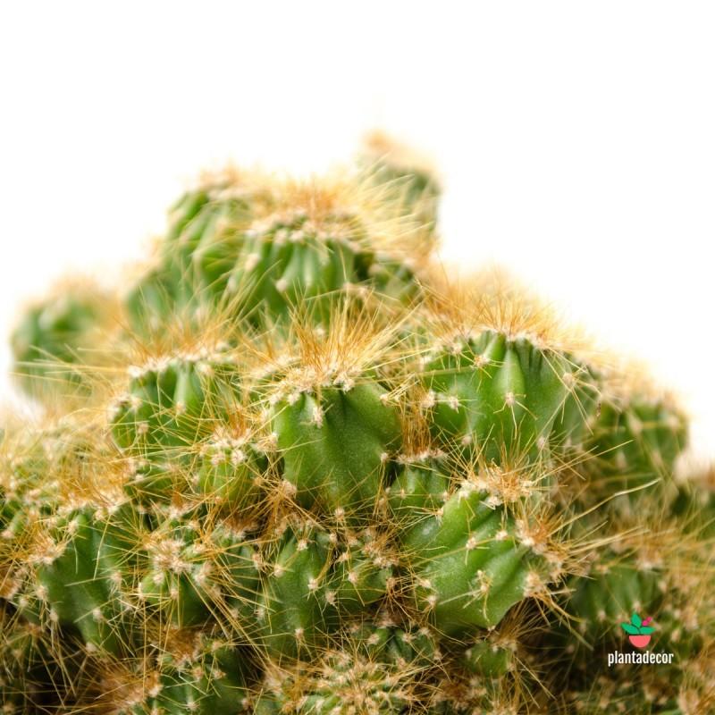 Cereus Peruvianus Monstruosus...