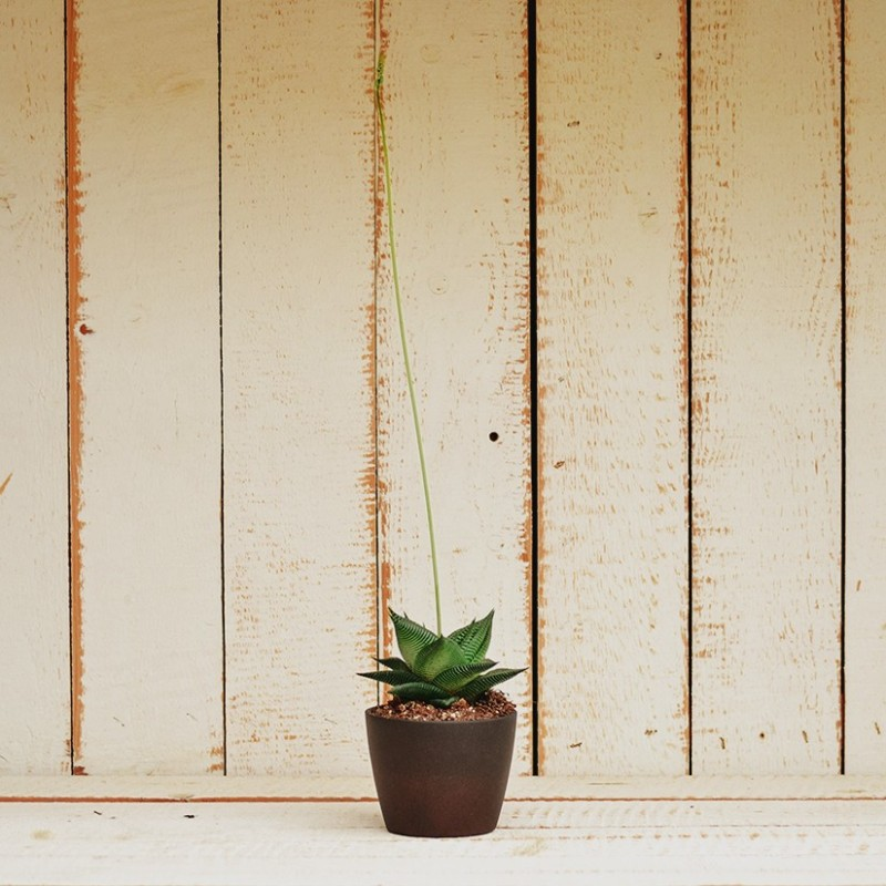 Haworthia Limifolia var. Twister