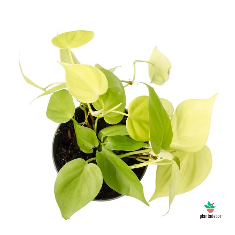 "Philodendron Scandens ""Lemon Lime"""