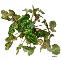 Begonia Chingipengii