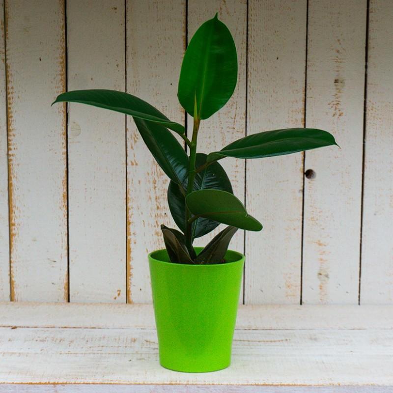 Ficus Elástica Robusta