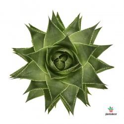 Aloe Aristata Cosmo Plantadecor