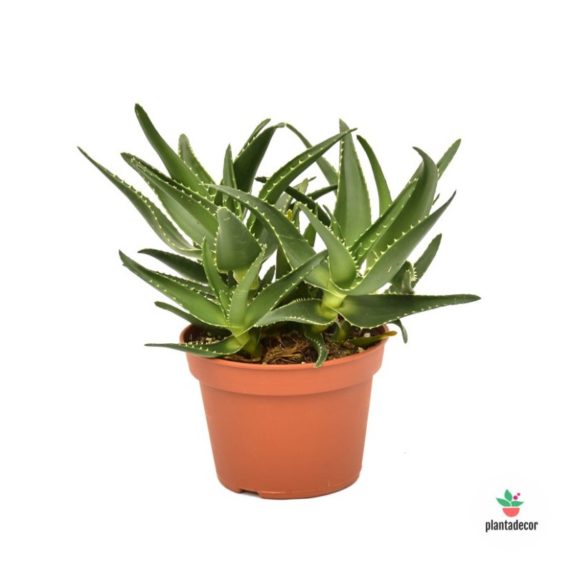 Aloe x Delaetii Ejemplar