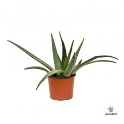 Aloe Vera (Aloe de Curazao)