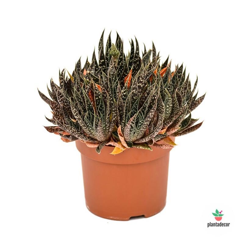 Aloe Black Gem