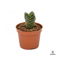 "Crassula Buddhas Temple ""Mini"""