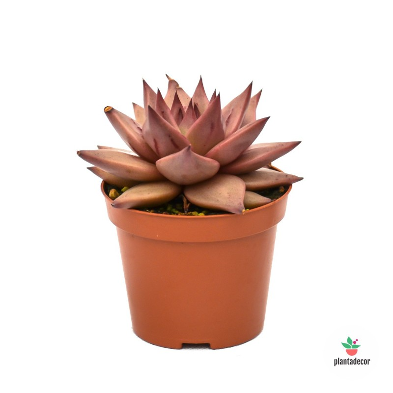 Echeveria Affinis (rosácea)