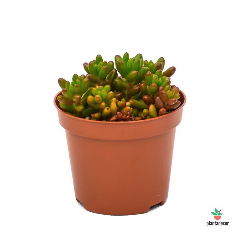Sinocrassula Yunnanensis (Verde)