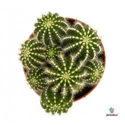 Eriocactus Warasii