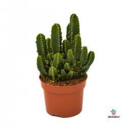 Cereus Peruvianus Paolina