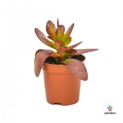 Crassula Platyphylla Large