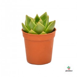 Echeveria Agavoides Dark Green