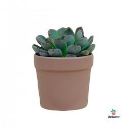 Echeveria Hércules Plantadecor