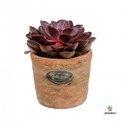 Echeveria Magic Red