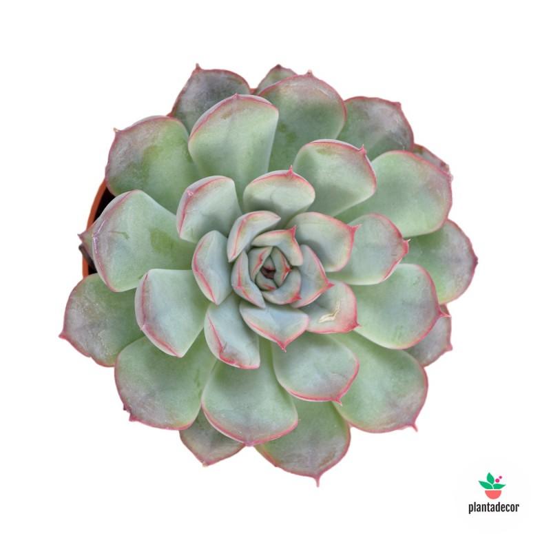 Echeveria Plantadecor