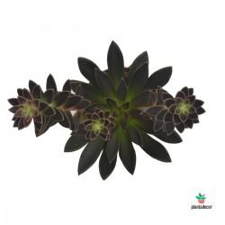 Echeveria Serrana Plantadecor