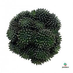 Crassula Yunnanensis