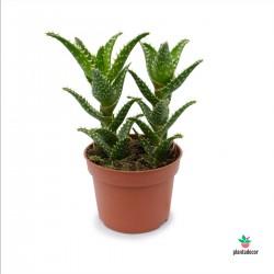 Aloe Concinna Inverflor
