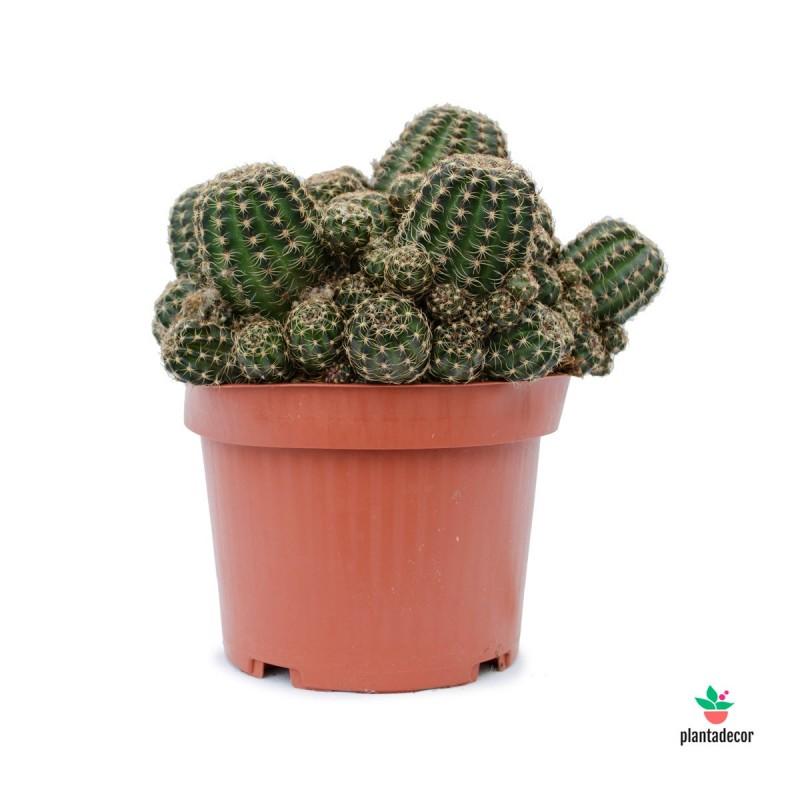 Cactus Lobivia Plantadecor