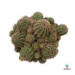 Cactus Lobivia  Arachnacantha
