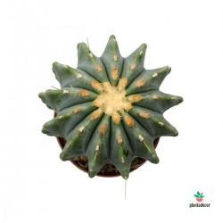 Cactus Ferocactus Glauca