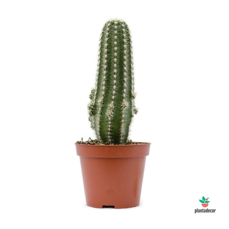 Trichocereus Huascha Cactus