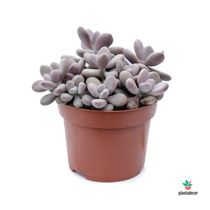 Pachyphytum Oviferum Rubra Plantadecor